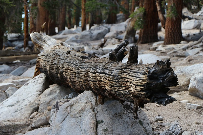 Cool-looking texture and color on an old pine log sitting next to the Pacific Crest Trail