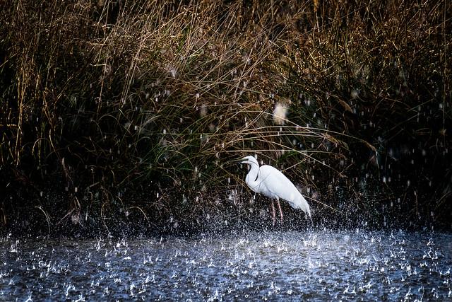 Volavka biela