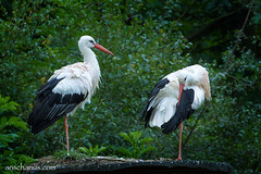 Two Storks - No Babies???