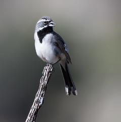 Black-throated Sparrow (Amphispiza bilineata)_DSC3838-editCC