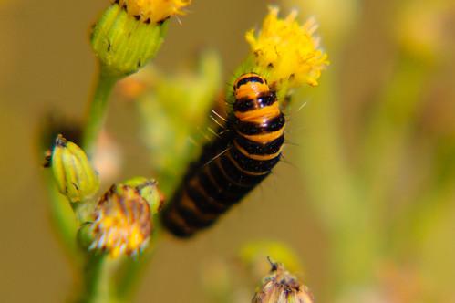 Cinnabar moth caterpillar eating ragwort