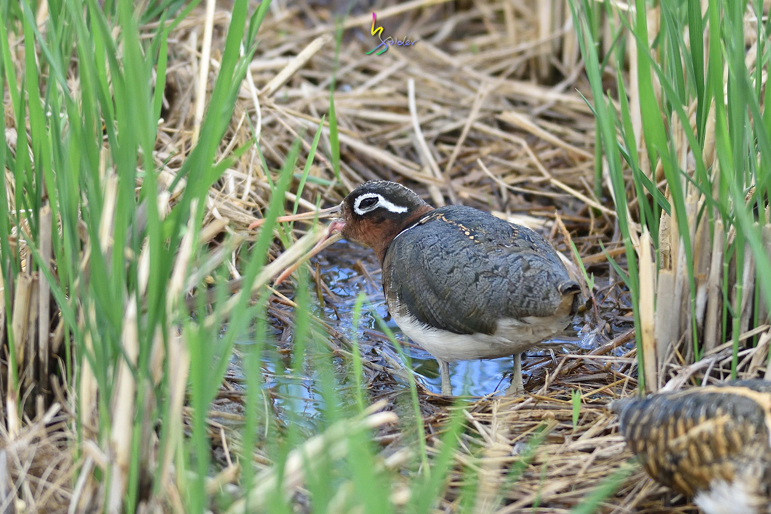 Painted_Snipe_1351