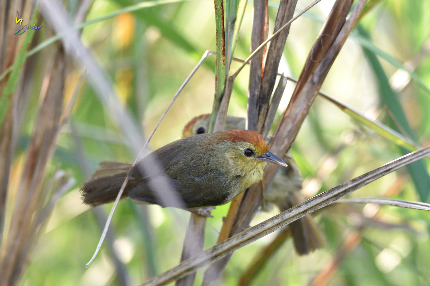 Red-headed_Babbler_0775