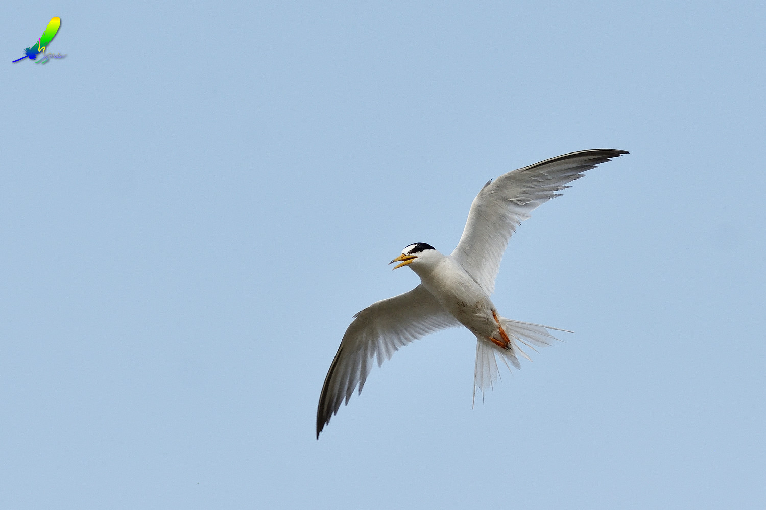 Little_Tern_9133
