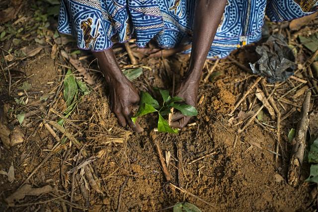 Planting Gnetum [okok] (photo credit: CIFOR / Ollivier Girard)