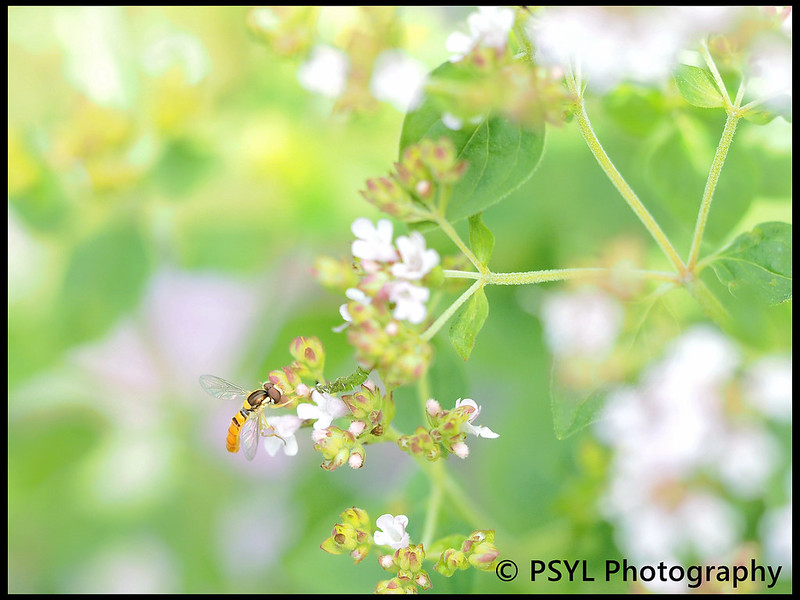 Syrphid fly on Origanum vulgare