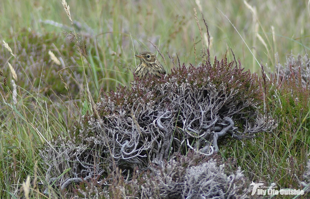 P1090676 - Meadow Pipit, Isle of Mull