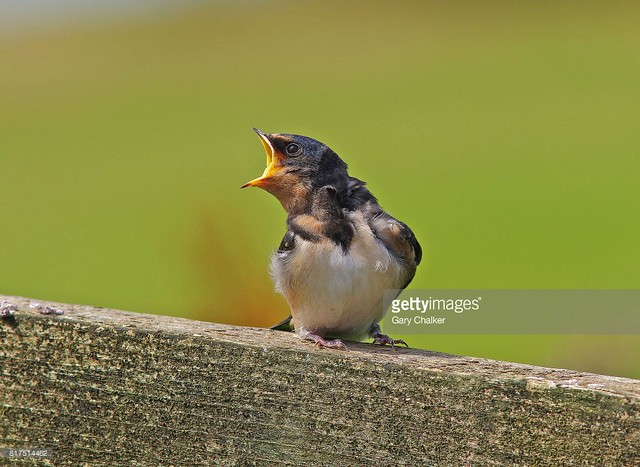 Swallow juvenile