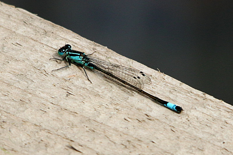 Blue Tailed Damselfly (female?)