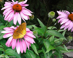 Great Spangled Fritillary Butterfly 20170702_140926-21.jpg