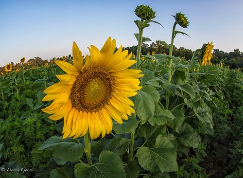 mckeebeshers fisheye landscape maryland summer sunflowers