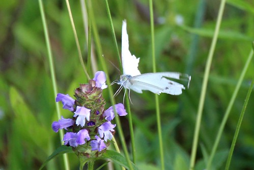 IMG_10371_Tattered_White_Butterfly_at_Ouabache