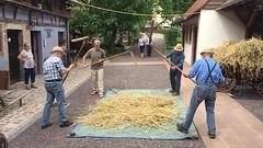 La battage du blé à l'ancienne (Maison rurale de l'outre-forêt, Kutzenhausen)