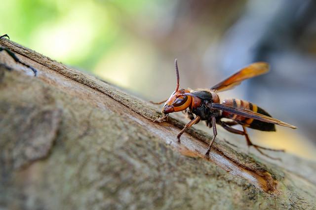 黑尾胡蜂與光臘樹