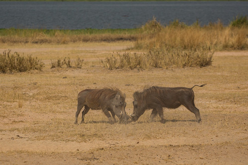 africa lakealbert murchisonfallsnationalpark phacochoerusafricanus uganda battle dominance fighting malewarthog nature pig safari wildlife nwoya northernregion ngc