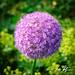Lavender Supernova