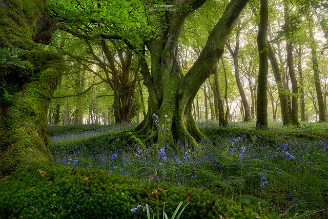 'Bluebell Woods' - Scotland