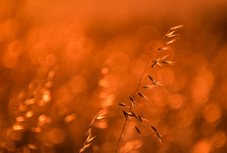 Golden Hour Grasses 3