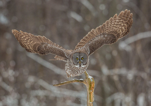 greatgreyowl greatgrayowl greyowl grayowl owl strixnebulosa strix phantomofthenorth cinereousowl spectralowl laplandowl spruceowl beardedowl sootyowl strigidae trueowl typicalowl nigelje montreal