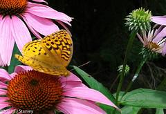 Great Spangled Fritillary Butterfly 20170702_141027-23.jpg