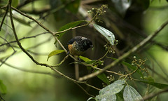 Spangle cheeked tanager