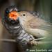 Teichrohrsänger als Wirtsvogel für den kleinen Kuckuck