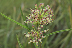 Asclepias longifolia, Long County, Georgia 3