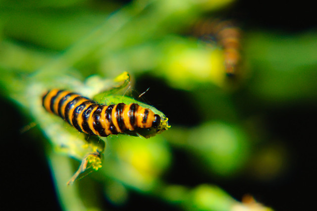 Cinnabar moth caterpillars eating groundsel