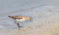 Least Sandpiper (Calidris minutilla) - Pond C - San Joaquin Wildlife Sanctuary