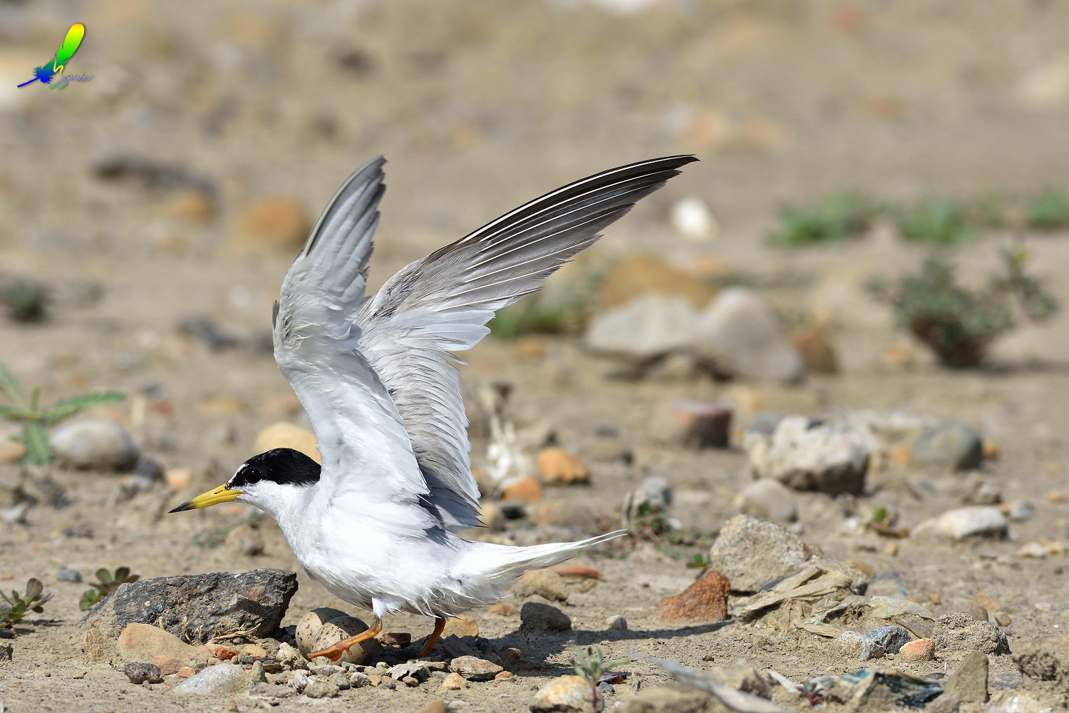 Little_Tern_9465