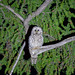 Ural Owl (Alan Curry)
