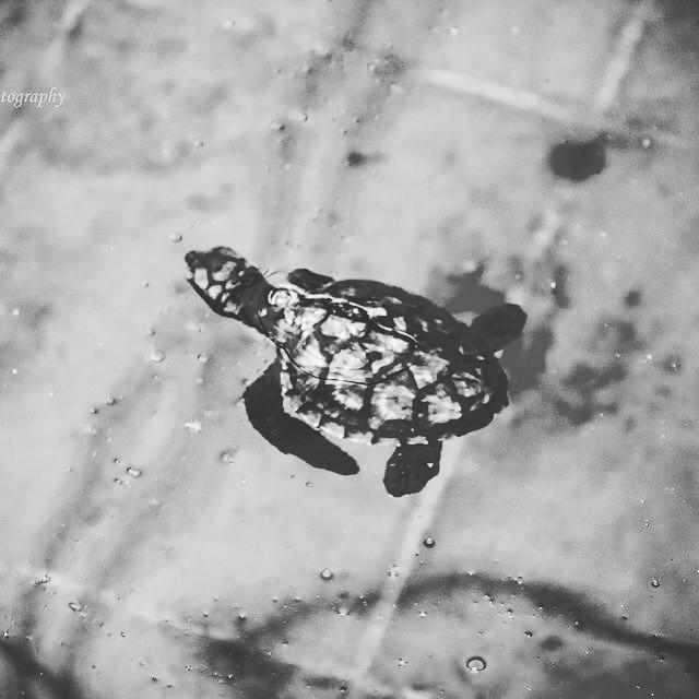 #smashingphotography #photography #nikon #turtle #baby #d5300 #babyturtle #bnw
