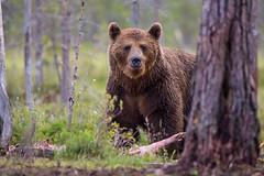 Staring bear