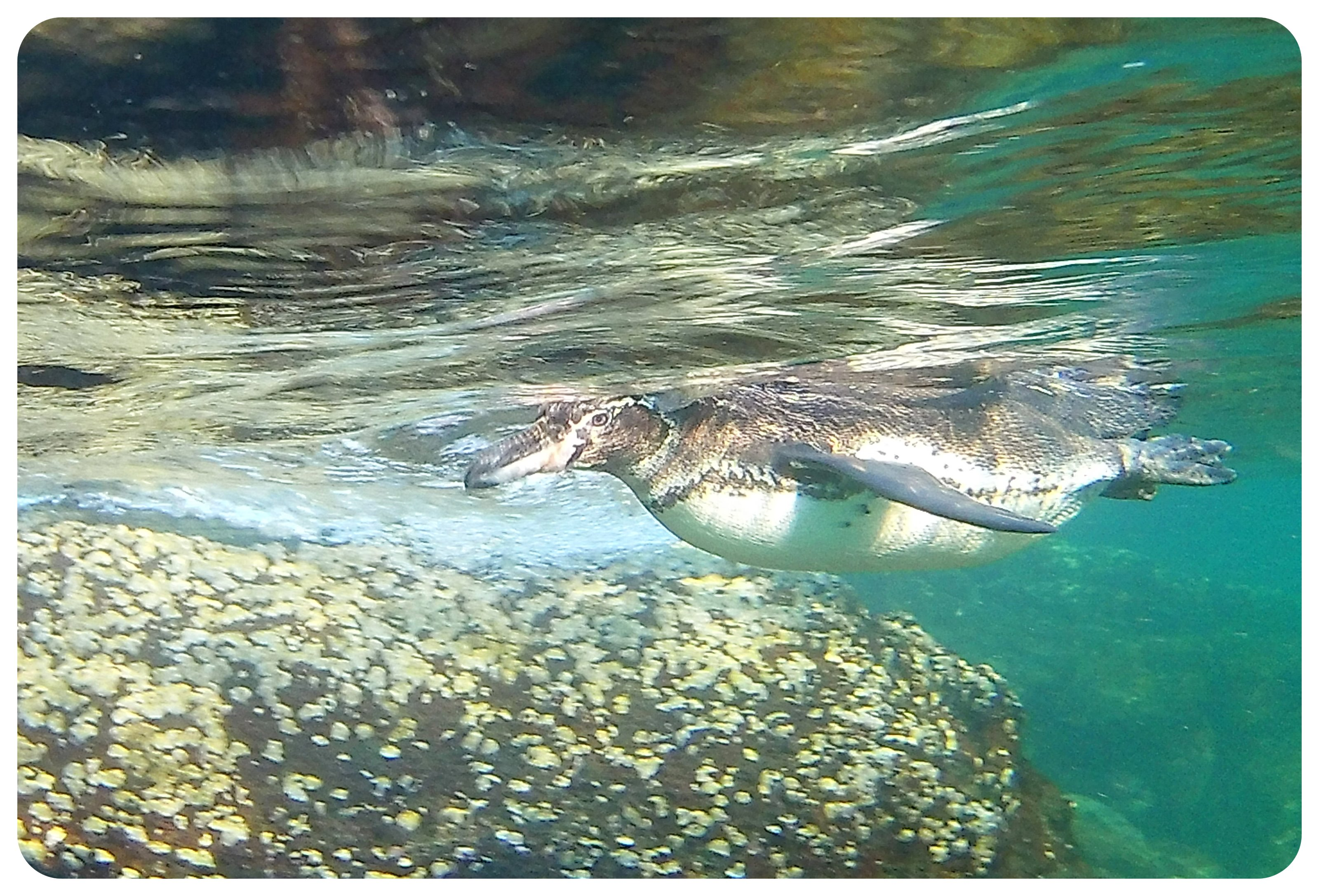 galapagos penguin in the water