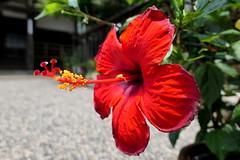 Photo:Hibiscus flower (ハイビスカス) at Hosenji (法泉寺) By Greg Peterson in Japan
