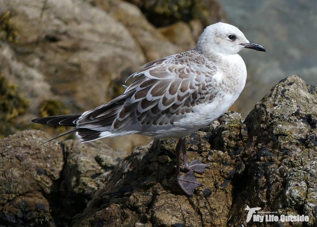 P1100631 - Mediterranean Gull, Mumbles