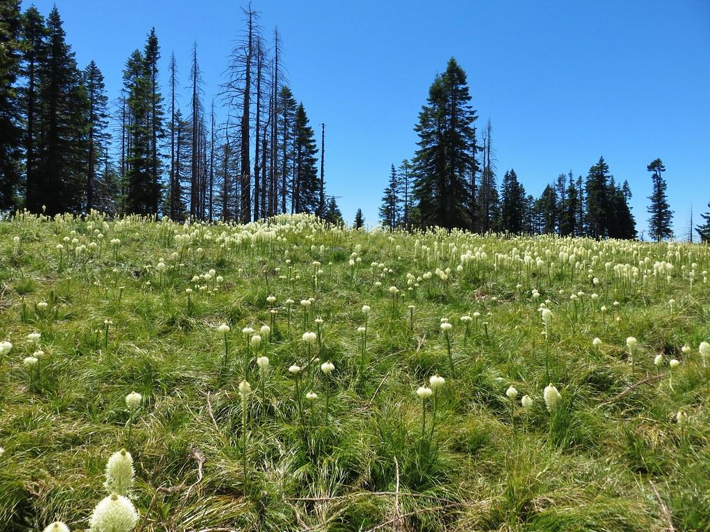 Beargrass meadow along the Grasshopper Trail