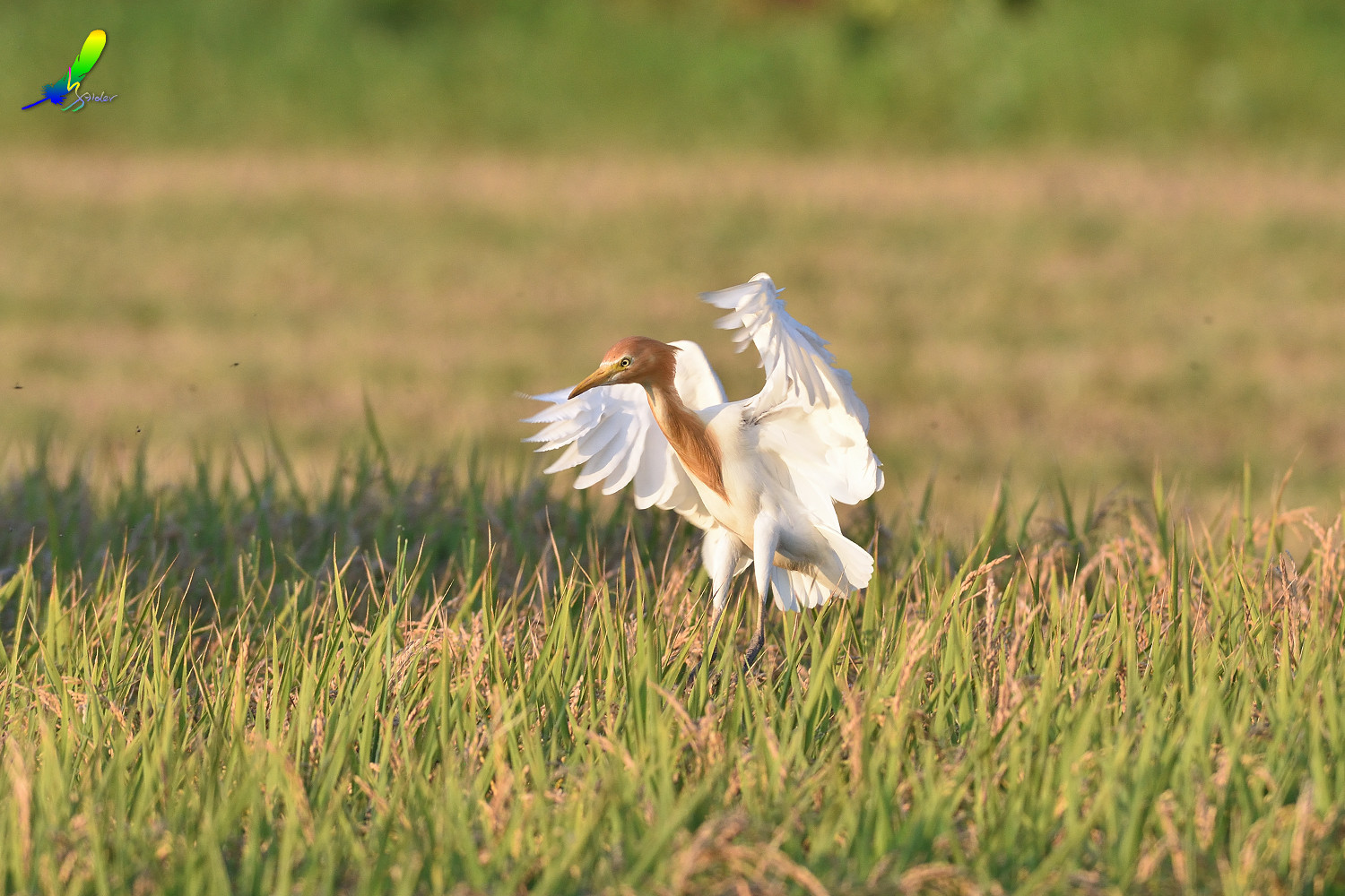 Cattle_Egret_0419