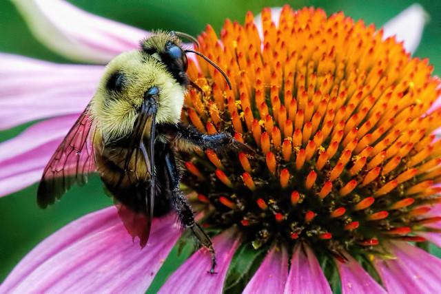 Bumblebee on coneflower, Canon EOS 70D, Tamron 16-300mm f/3.5-6.3 Di II VC PZD Macro