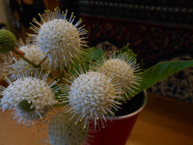 buttonbush flowers