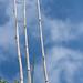 Phyllostachus Aurea goes walkabout 1