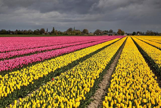 Stormy Tulips