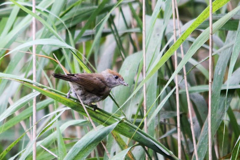 Juvenile Blackcap