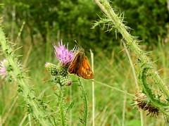 HolderLarge Skipper butterfly