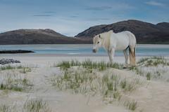 Eriskay Pony, Luskentyre, Harris