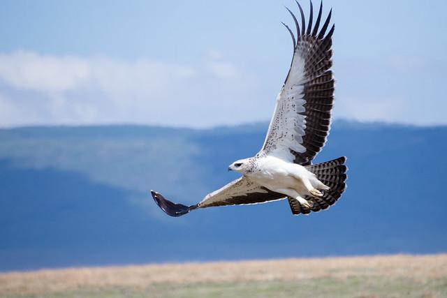 Martial Eagle - Ngorongoro Crater