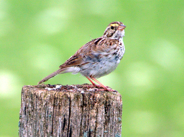 Savannah Sparrow 06-20170723