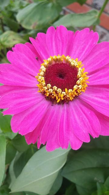 동네한바퀴 | 과꽃