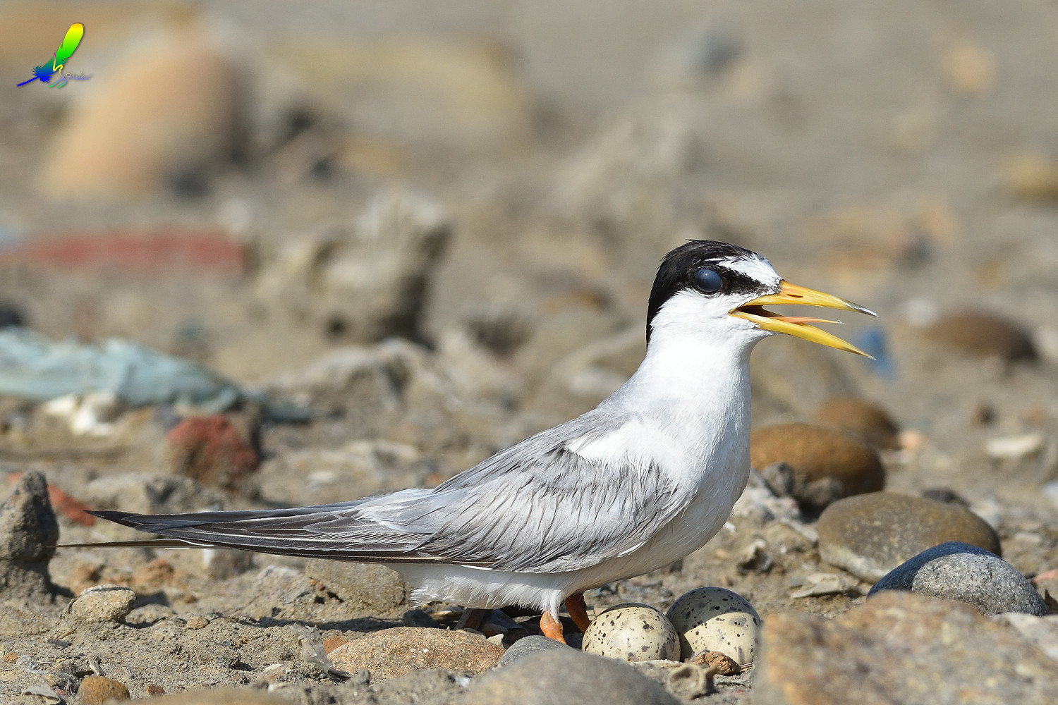 Little_Tern_9870