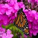 Monarch by The Big K-V (Kevin W. Vahey)